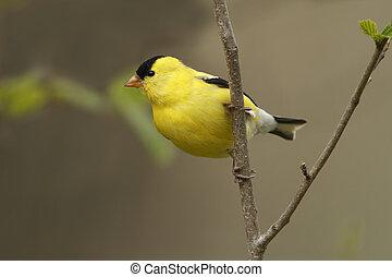 American Goldfinch - Ontario, CA - Male American Goldfinch...