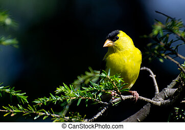American Goldfinch Perched on a Branch