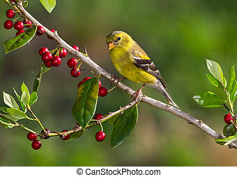 American Goldfinch perched on a branch with a greenish...