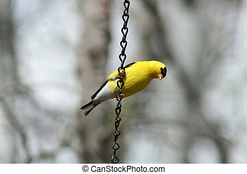 American Goldfinch Perched on Chain