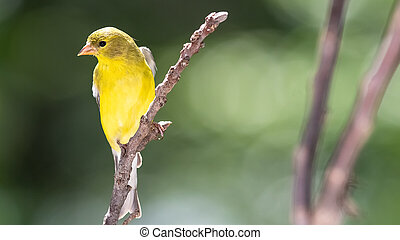 American Goldfinch Resting on a Tree Branch