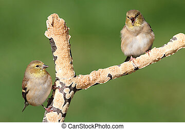 American Goldfinches (Carduelis tristis) - Pair of American...