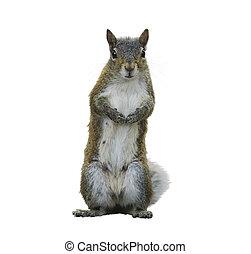American Gray Squirrel