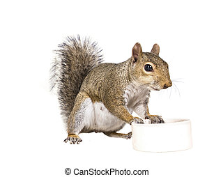 American gray squirrel rests on a white saucer