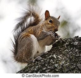 American Grey Squirrel