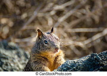 American grey squirrel peeking curious behind some rocks