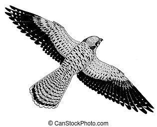 American Kestrel - Falco sparverius - Sparrow Hawk - female