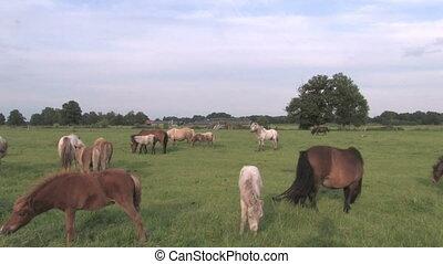 American mini horses in the grass fields