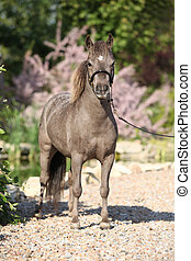 American miniature horse stallion posing in the garden