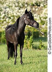 American miniature horse standing in castle garden