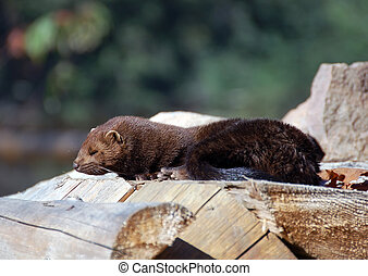 American Mink (Mustela vison) - Picture of an American Mink...
