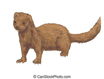 american mink isolated on a white background