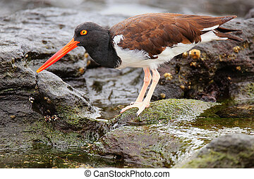 American oystercatcher on Santiago Island in Galapagos National Park, Ecuador.
