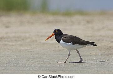 American Oystercatcher walking on a sandy beach