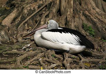 American pelican rests