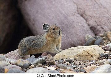 American Pika - Jasper National Park - American Pika...