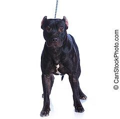 Pit Bull Terrier - American Pit Bull Terrier, black,...