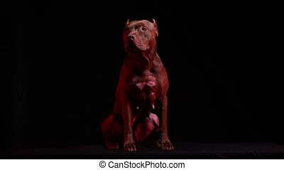 American Pit Bull Terrier in the studio on a black background in red neon light. The dog sits in full growth. Front view. Slow motion. Close up