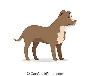 American Pit Bull Terrier Isolated on White
