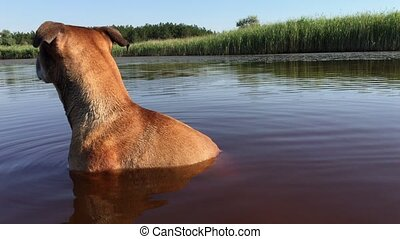 American Pit Bull Terrier sitting on the neck in the water