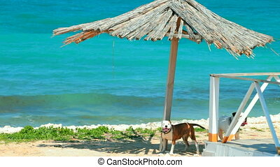 American Pit Bull Terriers  on the beach