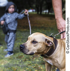 American pit bulls and a small child in the park