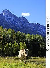 American quarter horse in a field, Rocky Mountains, Colorado...