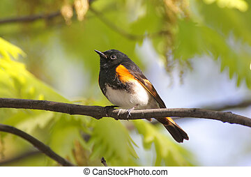 American Redstart Warbler (Setophaga ruticilla) in early spring