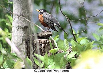 American Robin BI-3945 - The American Robin (Turdus...
