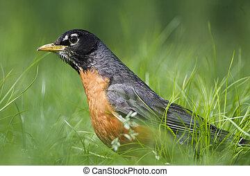 American Robin in the Grass