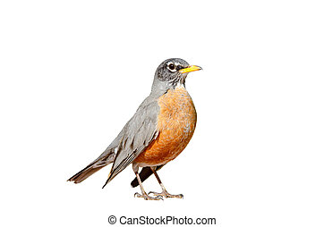 American robin isolated on a white background.