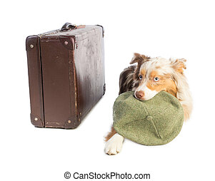 american shepherd with suitcase and cap in the mouth