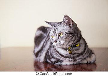 american shorthair cat crouch