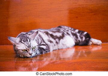 american shorthair cat sleep