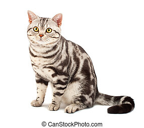 american shorthair macska