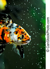 American shubunkin close up in a fish tank - American...