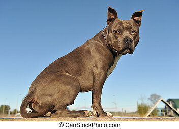 """portrait of an American Staffordshire bull terrier """"blue"""" on a table"""