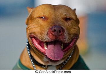 American Staffordshire Bull Terrier Portrait. Shallow DOF.
