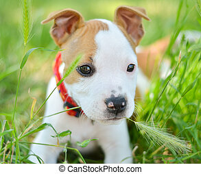 American Staffordshire cute terrier puppy chewing grass