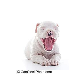 American Staffordshire Terrier Dog Puppy yawning