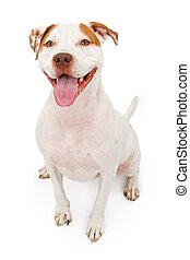 American Staffordshire Terrier dog - A young American...