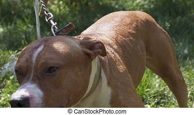 American staffordshire terrier dog takes a cooling shower from the hose