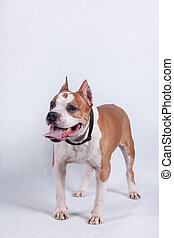 American staffordshire terrier isolated on a white background.