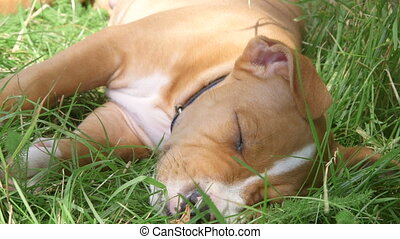 American staffordshire terrier puppy dog sleeping on the grass