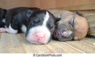 American Staffordshire Terrier Puppy sleeping