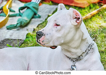 American Staffordshire Terrier - Portrai of American...