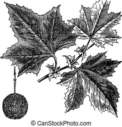 American Sycamore or Platanus occidentalis, vintage engraving