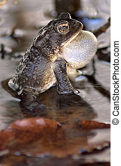 American Toad with throat inflated singing