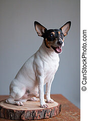 American toy fox terrier smiling