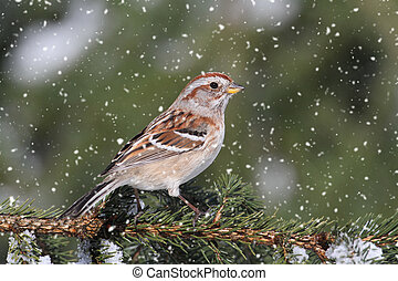 American Tree Sparrow (Spizella arborea) perched on branch in a light snow fall